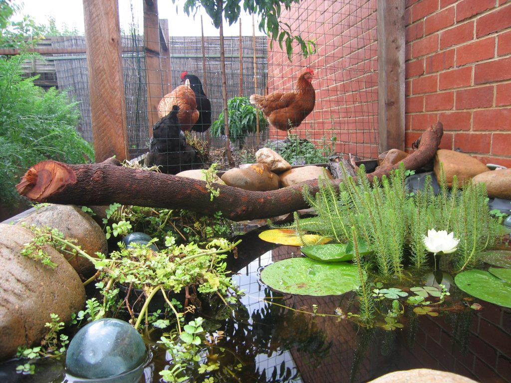 The Chook and Pond