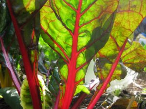 Rainbow chard and Silverbeet