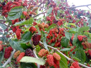 Mulberry season!